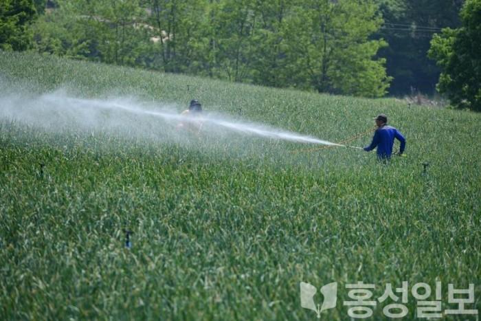 14일 (홍성군, 농어민수당 1차분 37억 '조기' 지급_홍성군의 한 마늘농가).JPG