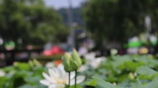 [포토] 부여서동연꽃축제 2019
